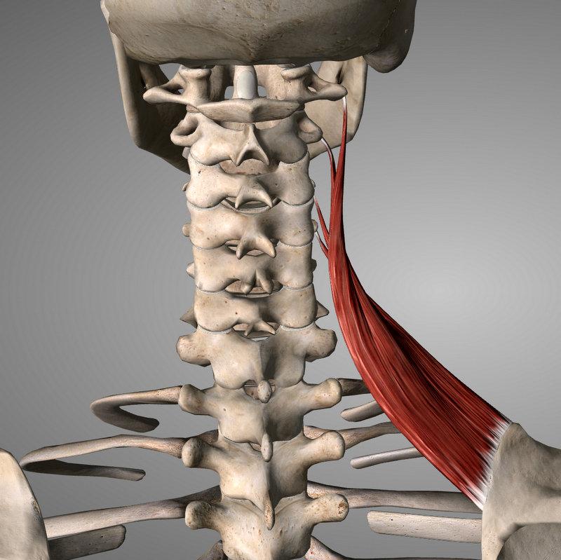 Một số cơ liên quan đến cột sống cổ